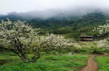 Moc Chau plum blossom season and Hmong New Year